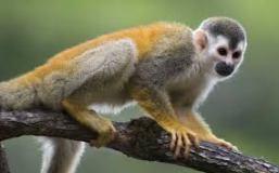 Mono chichilo